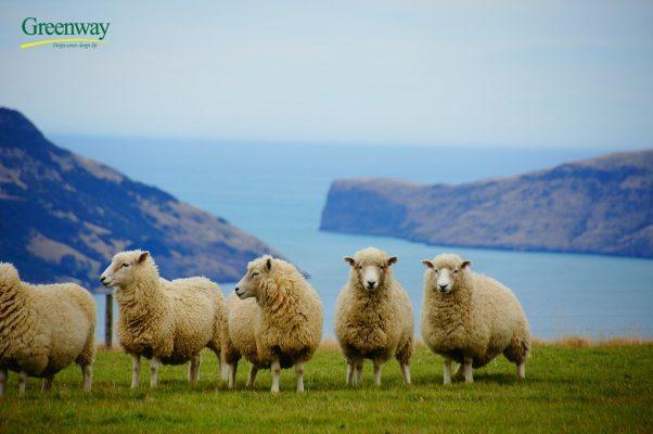 Chăn nuôi cừu tại New Zealand